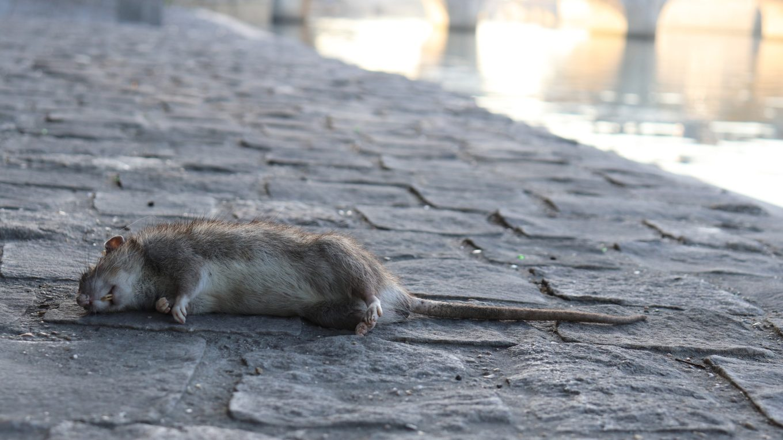 rat mort Paris